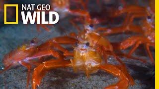 Tiny 'Tuna Crabs' Swarm California Beaches Beyond 'Normal' Range | Nat Geo Wild by Nat Geo WILD