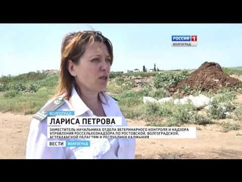 В Волгоградской области выявлен факт незаконного перевоза животноводческой продукции