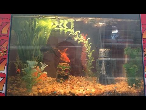 Goldfish In a (Live) Stream