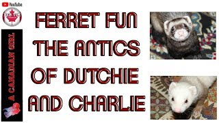 FERRET FUN│THE ANITCIS OF│DUTCHIE & CHARLIE