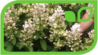 #151 Hydrangea paniculata Floribunda - auf der Suche nach den schönsten Rispenho