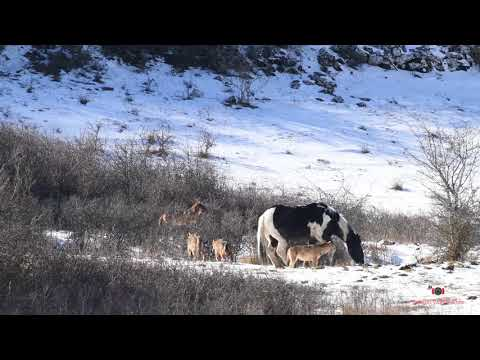 This horse is definitely not afraid of wolves