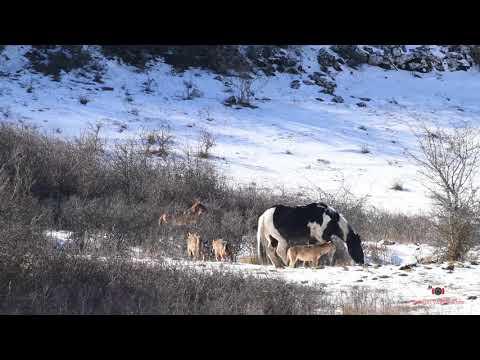 Смелая лошадь не испугалась шестерых волков