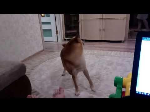 А как ваша собака просится гулять?