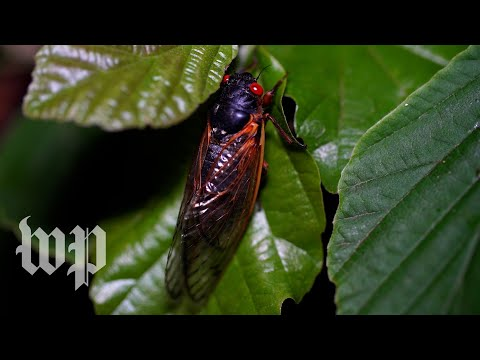 Wet hot cicada summer