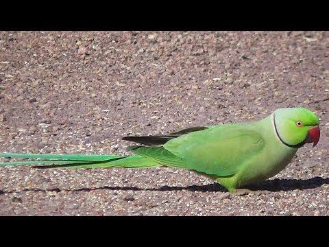 Green Indian Ringneck Parakeet? (⌒▽⌒)