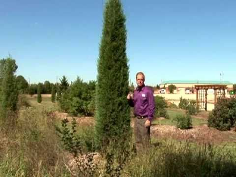 Trees Shrubs Columnar Trees Fit Small Spaces
