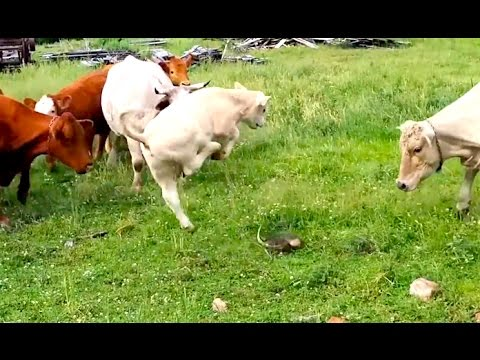 Ozzy Man Commentates on Cows Flipping Out Over