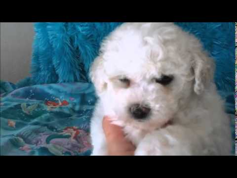 Snicker - male Bichon Frise