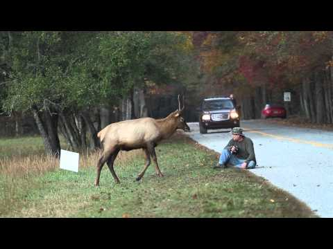 Elk vs. Photographer | Great Smoky Mountains National Park