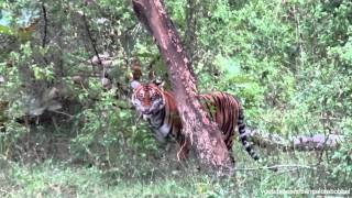 Bandipur India  city pictures gallery : Wild Tigers in Bandipur National Park (Karnataka, India, Nov. 2011)