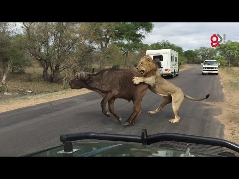 Lions Attack Buffalo Meters From Tourists (видео)
