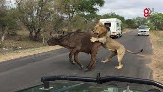Akcja podczas safari! Lwy atakują bawoła kilka metrów od turystów.