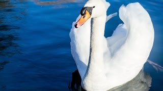One of the most elegant and graceful aquatic bird - SWANS info