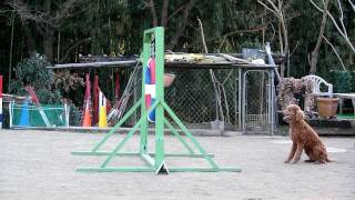 Agility Training With The Standard Poodle, Bleau