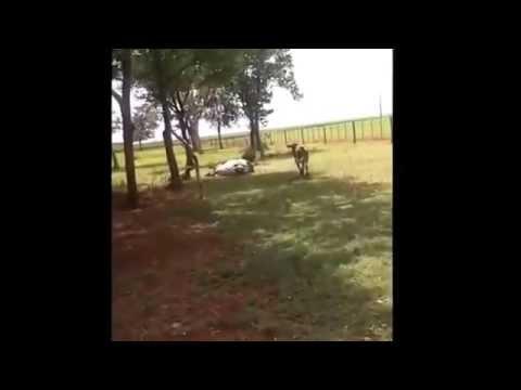 Ram vs Bull