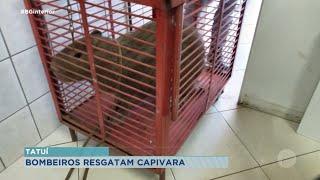 Bombeiros resgatam capivara que entrou em farmácia em Tatuí