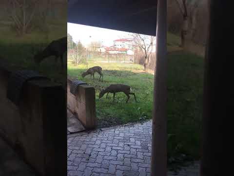 Anche ad Alba la natura si riprende i suoi spazi: il video di una famiglia di caprioli alla scuola enologica