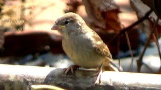 A Day In The Life Of Sparrows ( House Sparrow | Passer domesticus)