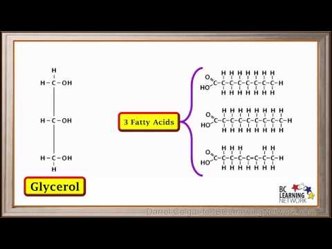 BCLN - Synthesis and hydrolysis of fats - Biology