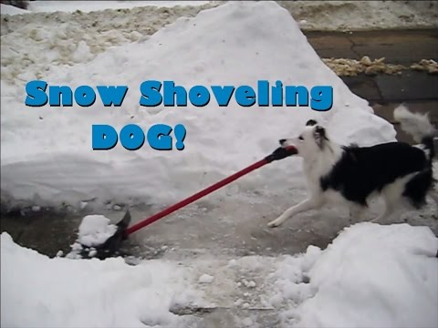 Snow-Shoveling Dog Shovels Like A Boss!
