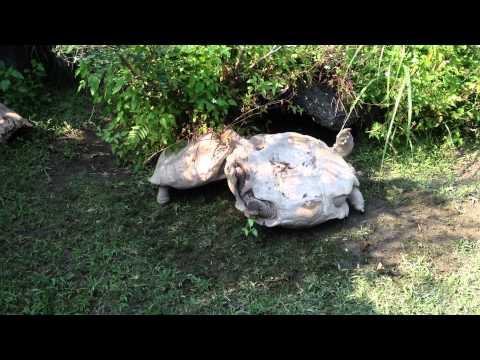 [Video] Una tortuga ayuda a otra a levantarse