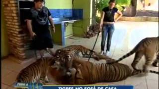 Domingo Espetacular: Tigres: Dóceis Animais Selvagens!