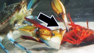 Will it survive? Watch what happens when you mix CRAWFISH with a GIANT crab