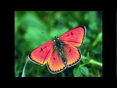 Tekst piosenki Perry Como - Butterfly po polsku