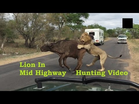 Video Lion Hunting Buffelo In Highway Video Taken By A Child download in MP3, 3GP, MP4, WEBM, AVI, FLV January 2017
