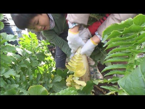江戸時代から続く東京の伝統野菜 「練馬大根ひっこぬき大会」