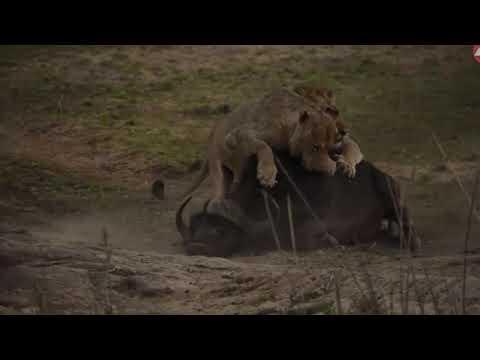 Lion vs Buffalo Fights _ 3 Male Lion Attack Buffalo Safari