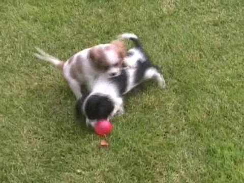 cavalier king: funny game!