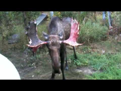 Moose attacking water tank