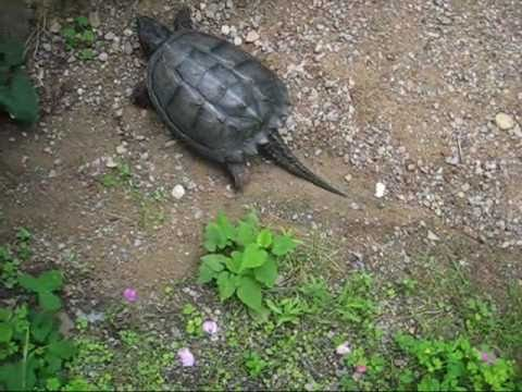 Jeffrey la tortue suicidaire