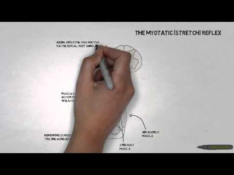 stretch reflex - Short Videoscribe tutorial on the myotatic (stretch) reflex.