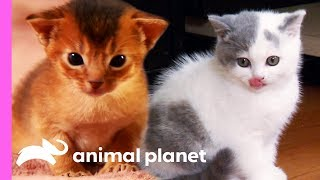Top 3 Cutest Kitten Moments | Too Cute! by Animal Planet