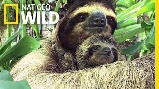 Baby Sloth and Mom Reunited Using Audio Recording | Nat Geo Wild by Nat Geo WILD