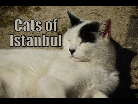 VIDEO: Cats of Istanbul