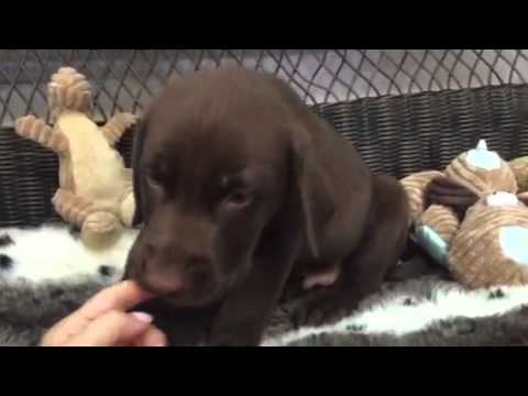 Rich chocolate coat, adorable lab puppy!