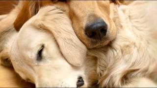 Pet Therapy: Sleep Music for Dogs and Cats full download video download mp3 download music download