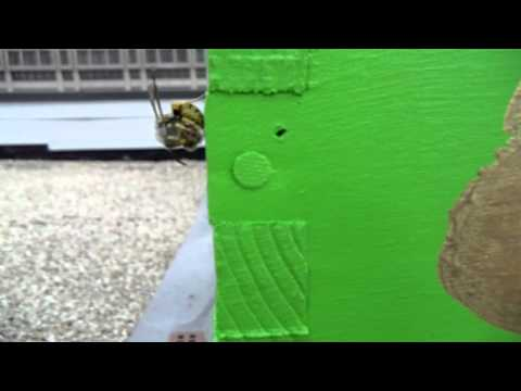 Urban Beekeeping: Yellow Jacket Eating a Honey Bee on Her Own Hive!