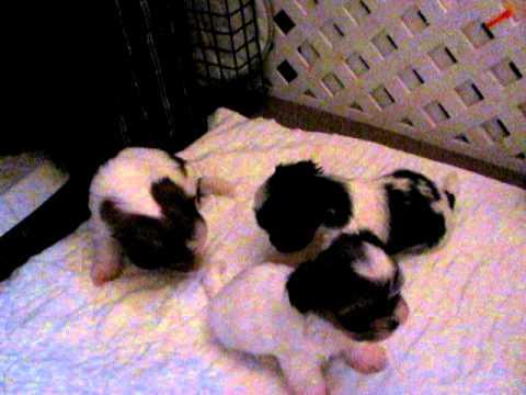 cutie shorkie puppies