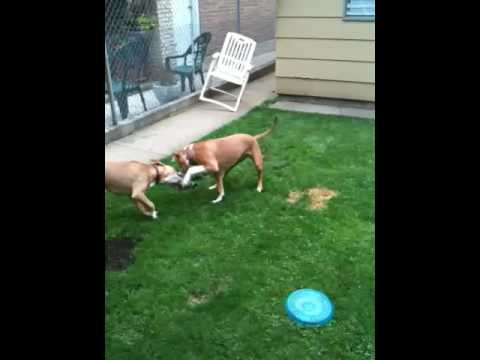 Pitbull fight to the death