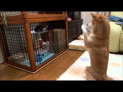 這隻柴犬初次見到家裡新來的小貓非常好奇,下一秒牠自創的「呆萌打招呼方式」害人笑到一直搥地啊!