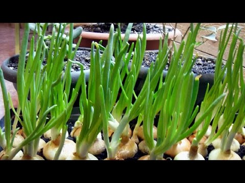 Бизнес план выращивания зеленого лука 64
