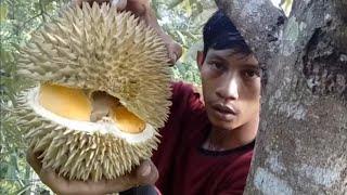 Video Belah #durian diatas pohon (jangan ditiru ya broo) spesial untuk yang ingin tau warna durian Myg MP3, 3GP, MP4, WEBM, AVI, FLV Februari 2019