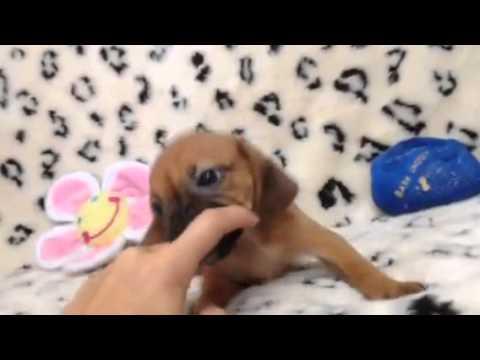 A Fun-loving, Cute, Playful Female Puggle