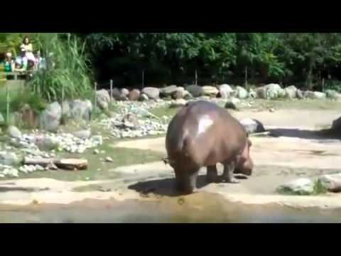 Hippo Farts At the Zoo