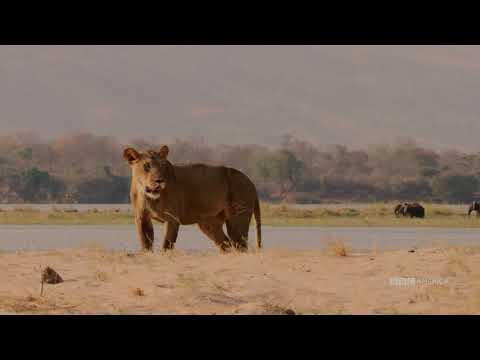 Painted Wolves vs. Impala | Dynasties | Saturdays at 9pm | BBC America